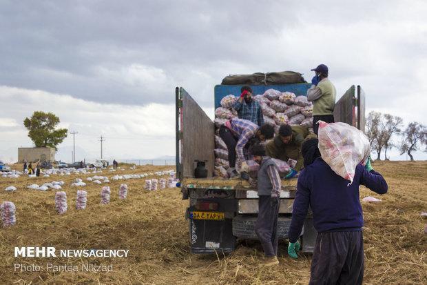 ممنوعیت صادرات سیب زمینی و سیر لغو شد