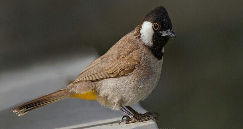 کشف 300 پرنده زینتی از دو قاچاقچی در آبادان