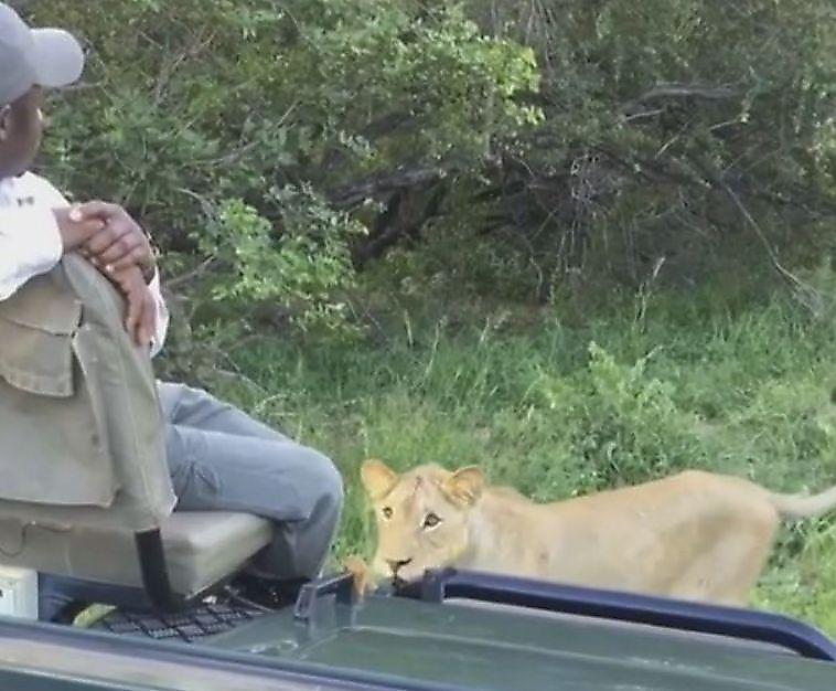 شیر های آفریقایی جاده را برای عبور توریست ها مسدود کردند